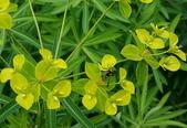 草花植物:大甲草Euphorbia formosana Hayata