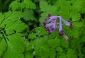 草花植物:刻葉紫菫 Corydalis incisa (Thunb.) Pers.