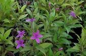 木本花卉:紫雲杜鵑Pseuderanthemum laxiflorum Hubbard ex L. H. Bailey