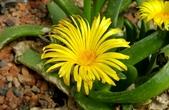 多肉植物:寶祿Glottiphyllum depressum