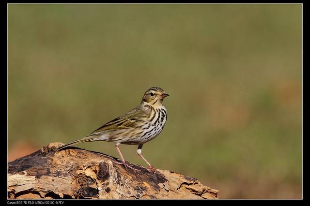 鳥類攝影:1770958763.jpg