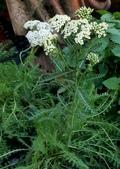 草花植物:西洋耆草 Achillea millefolium L.