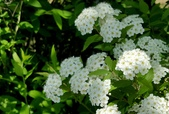 木本花卉:麻葉繡線菊  Spiraea cantoniensis Lour.