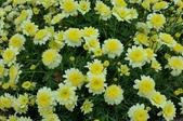 菊花:黃花重瓣蓬蒿菊