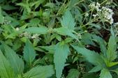 菊花:田代氏澤蘭 Eupatorium tashiroi Hayata