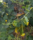 昆蟲圖像:刺副黛緣椿象 Paradasynus spinosus