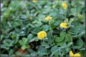 草花植物:蔓花生Arachis duranensis Krapov. & W. C. Gregory