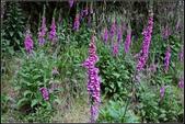 草花植物:毛地黃Digitalis purpurea