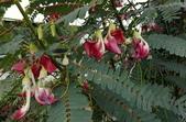 草花植物:大花田菁Sesbania grandiflora