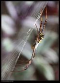 蜘蛛:人面蜘蛛