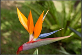草花植物:天堂鳥蕉