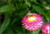 菊花:麥桿菊Helipterum bracteatum