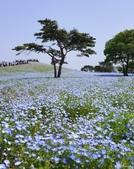 草花植物:粉蝶花 Nemophila