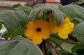 球根花卉:黃花艷桐花