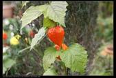 草花植物:秘魯酸漿