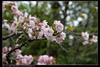 高砂櫻Cerasus sieboldii