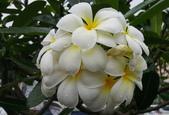 木本花卉:鈍頭緬梔Plumeria obtusa
