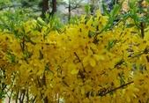 木本花卉:密花連翹 Forsythia intermedia 'Spectabilis'