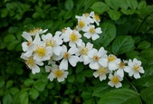 木本花卉:薔薇 Rosa multiflora