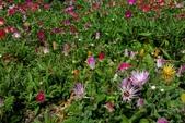 草花植物:彩虹菊 Dorotheanthus bellidiformis (Burm. f.) N. E. Brown