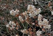 木本花卉:暖地櫻桃Cerasus pseudocerasus (Lindl.) G. Don
