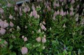 草花植物:澳洲狐尾草Ptilotus exaltatus