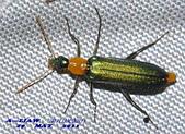 其他目---昆蟲:耀夜螢    DSC_0832