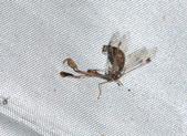 其他目---昆蟲:DSC_1157