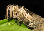 鱗翅目---蛾:IMG_2048