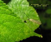 大蚊:亮大蚊IMG_2943