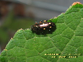 其他目---昆蟲:臺灣大吸木蟲 IMG_7528