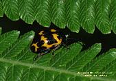 :雙帶廣螢金花蟲DSC_4621