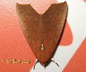 鱗翅目---蛾:超橋夜蛾     IMG_9002