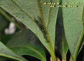 其他目---昆蟲:螳蛉 IMG_7286
