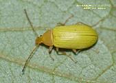 其他目---昆蟲:朽木蟲      DSC_4678