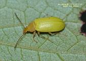 其他目---昆蟲:朽木蟲      DSC_4677