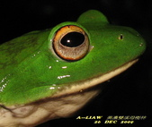 美濃雙溪母樹林夜觀091226:莫氏樹蛙    IMG_2651.jpg-1