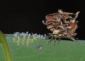 脈翅目--草蛉、姬蛉、螳蛉、長角蛉:蚜獅(草蛉科的幼蟲)吃蟲卵DSC_3554