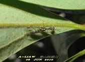 其他目---昆蟲:螳蛉 IMG_7288