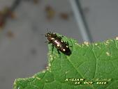 其他目---昆蟲:臺灣大吸木蟲 IMG_7526