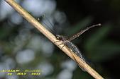 脈翅目--草蛉、姬蛉、螳蛉、長角蛉:長角蛉DSC_1126