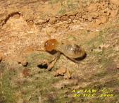 其他目---昆蟲:白蟻     IMG_1919
