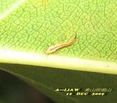 待查的蟲蛛:待查的幼蟲      IMG_1676