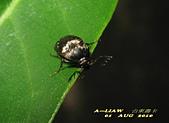 其他目---昆蟲:IMG_3399大花蚤科 Rhipiphorida