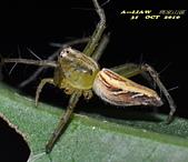 蜘蛛:斜紋貓蛛     DSC_0948