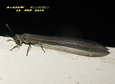 其他目---昆蟲:蟻蛉又稱為短角蛉IMG_6043