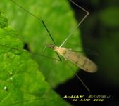 大蚊:亮大蚊IMG_2944