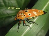半翅目─椿象:黃盾背椿象 (黃斑角盾椿)   IMG_4665