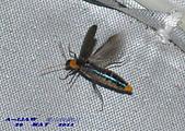 其他目---昆蟲:耀夜螢    DSC_0868