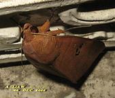 鱗翅目---蛾:枯安鈕夜蛾     IMG_1513